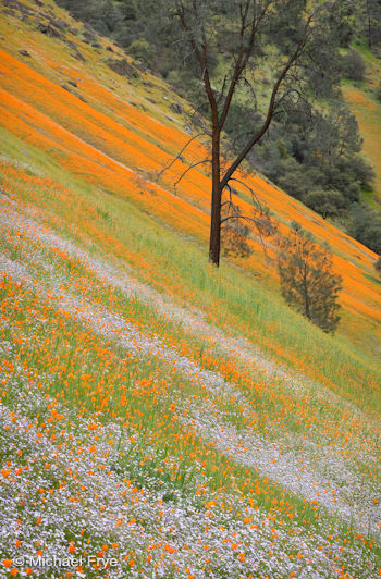 Poppies, tri-colored gilia, and a gray pine, March 2009