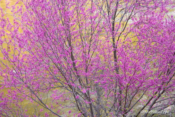 Redbud and reflection along the Merced River