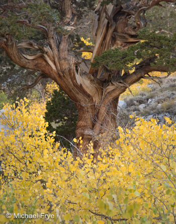 Aspens and Juniper, Rock Creek Canyon