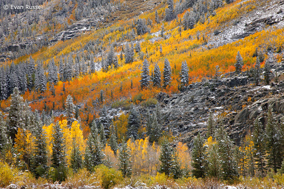 Aspens and snow in the Bishop Creek area, October 5th—Photograph by Evan Russel