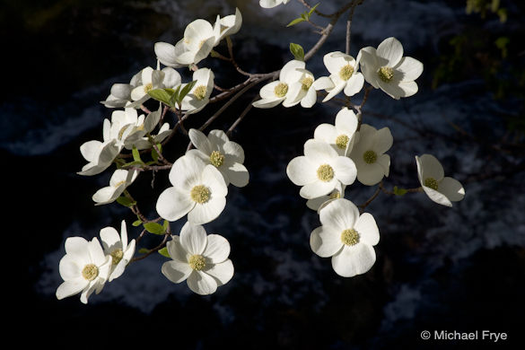 Most camera's light meters would read the dark areas in the background and overexpose these dogwood blossoms. To correct for this, you need to either override the meter with exposure compensation, or adjust the exposure manually.