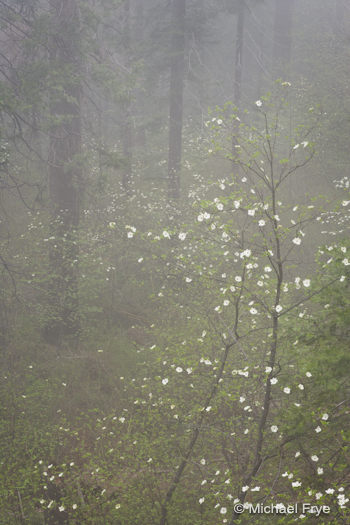 B) Misty Forest With Dogwoods
