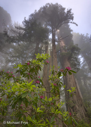 Redwoods and rhododendrons—wide-angle view