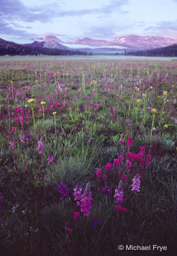 Wildflowers, Tuolumne Meadows, 1986