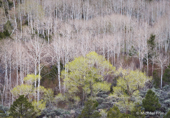 13. Aspens and cottonwoods near Torrey, Utah