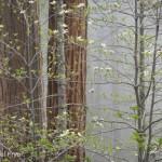 15. Dogwoods in mist, Yosemite