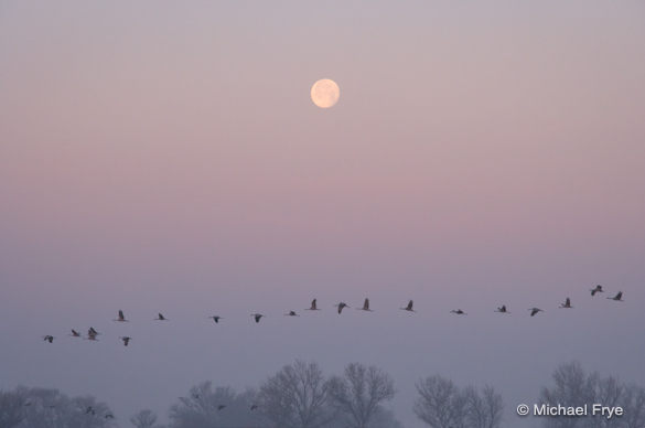 Sandhill cranes and setting moon, Merced NWR, Tuesday morning