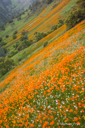 Poppies in the Merced River Canyon, Sunday afternoon
