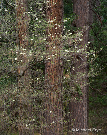 Dogwood and ponderosa pines near the Ahwahnee Hotel, yesterday morning