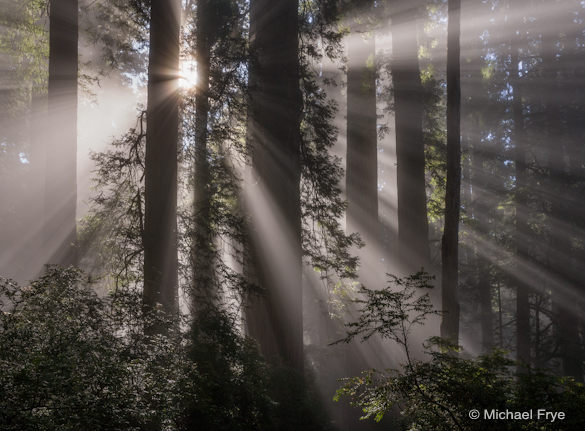 Sunbeams in redwood forest