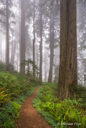 Path through foggy redwoods
