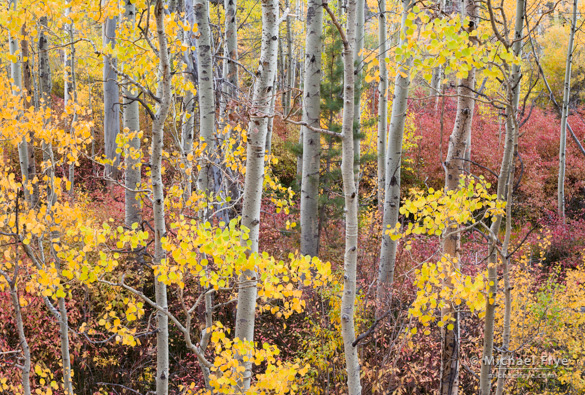 Aspens and dogwoods along Lee Vining Creek
