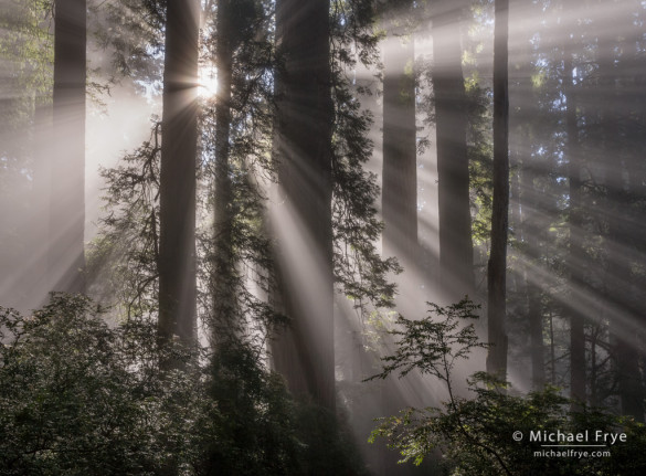 Sunbeams and redwoods, Del Norte Coast Redwoods SP, CA, USA