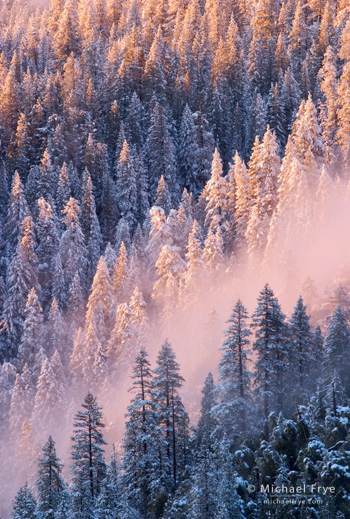 Ponderosa pines at sunset after a snowstorm, Yosemite NP, CA, USA