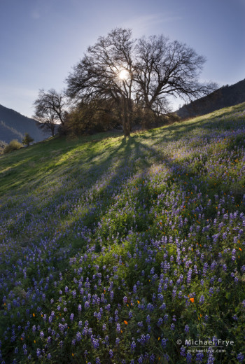 Oaks, lupine, and poppies in the Merced River Canyon near El Portal, CA, USA