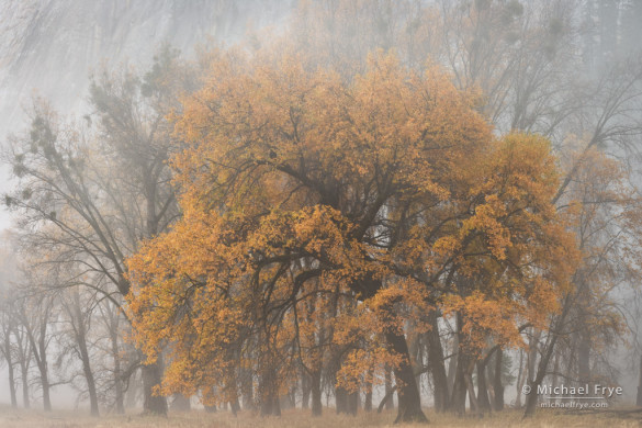 Oak tree in fog, autumn, El Capitan Meadow, Yosemite NP, CA, USA