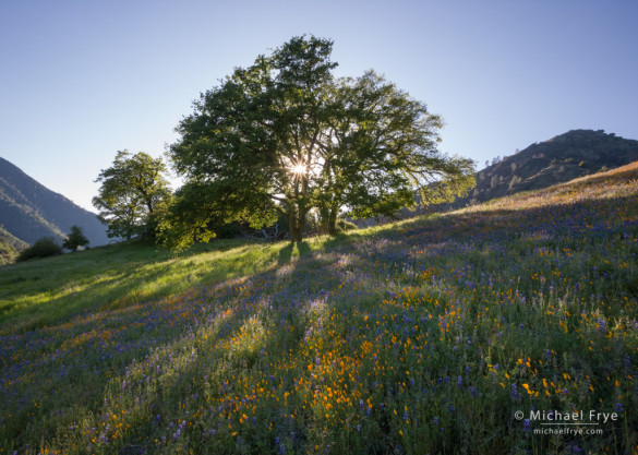 Poppies, lupine, and oaks, late afternoon, Sierra Nevada foothills near El Portal, CA, USA