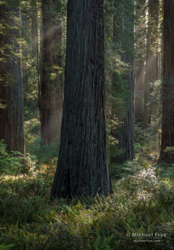 Late-afternoon sunbeams in a redwood forest, Del Norte Redwoods SP, CA, USA