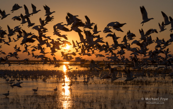 Ross's geese taking flight at sunset, Central Valley, California. This image has lots of repeating shapes shown as silhouettes.