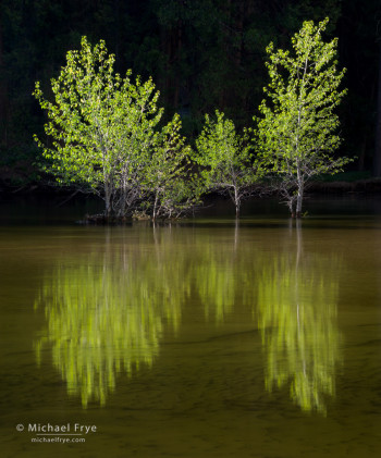 Cottonwood trees in the Merced River, Yosemite. Sidelight illuminated the tree while leaving the background in the shade.