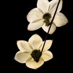 Dogwood blossoms, Yosemite. These backlit flowers stand out cleanly against a dark, shaded background.