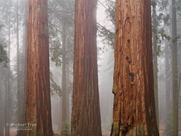 Giant sequoias in fog, Mariposa Grove, Yosemite NP, CA, USA