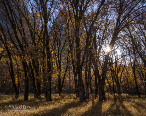 California black oaks in El Capitan Meadow, autumn, Yosemite NP, CA, USA