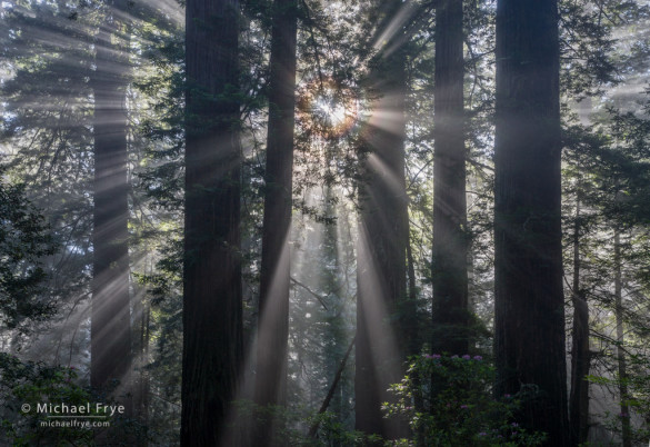 Sunbeams and corona in a redwood forest, CA, USA