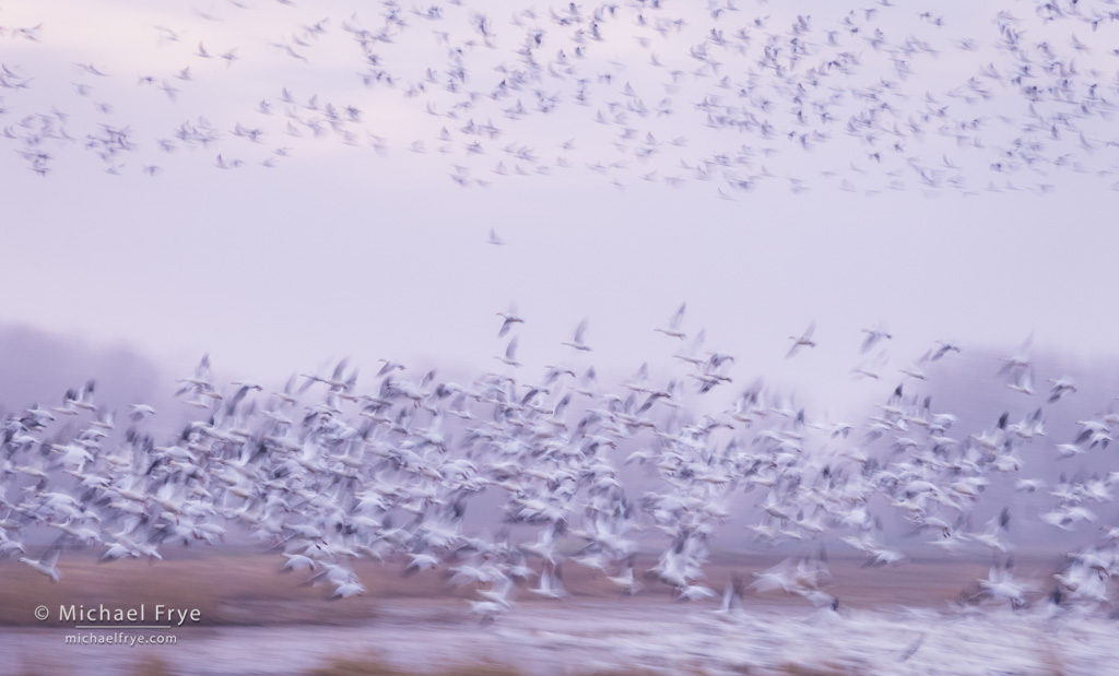 Morning fly-out, Ross's geese, San Joaquin Valley, CA, USA