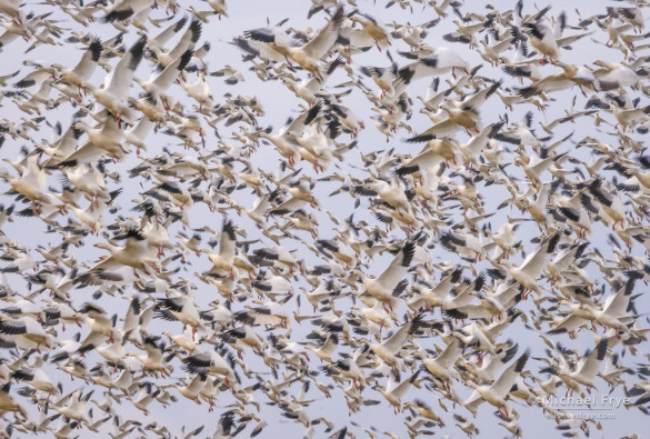 Formation of Ross's geese taking flight, San Joaquin Valley, CA, USA