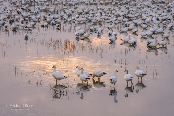Ross's geese resting in a marsh, San Joaquin Valley, CA, USA