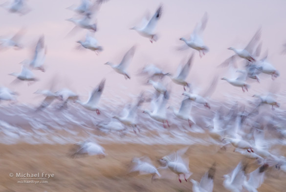 Ross's geese taking flight, San Joaquin Valley, CA, USA