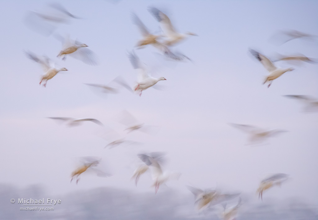 Ross's geese landing, San Joaquin Valley, CA, USA