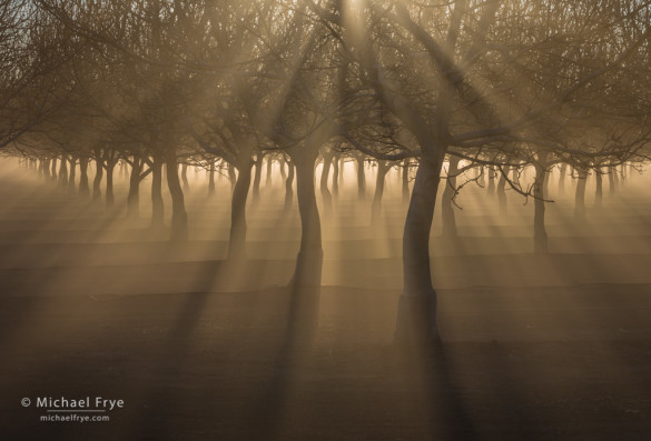 Sunbeams and fog in a Sacramento Valley orchard, CA, USA