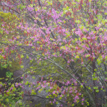 Redbud, Merced River Canyon, Mariposa County, CA, USA