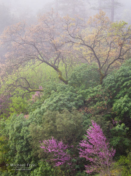 Redbuds and California black oaks in the fog, Merced River Canyon, Stanislaus NF, CA, USA