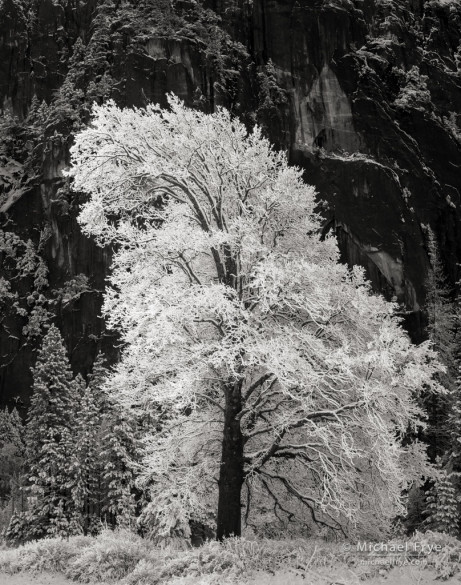 Snowy black oak, Yosemite NP, CA, USA