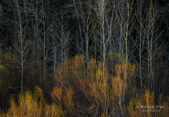 Willows and cottonwoods in late-afternoon light, Yosemite NP, CA, USA