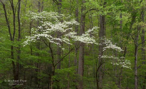 Dogwoods, Great Smoky Mountains NP, NC, USA