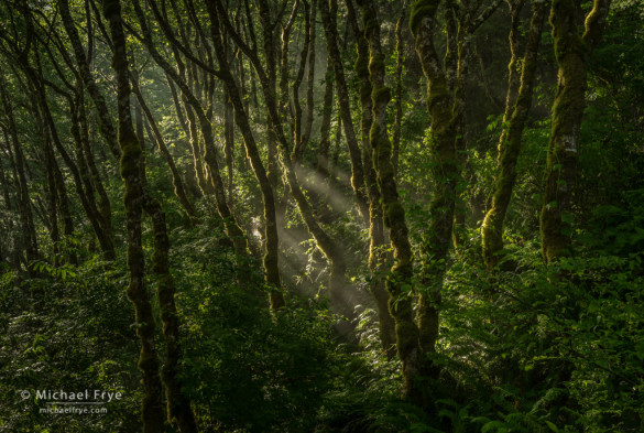 Alders and sunbeams, Redwood NP, CA, USA