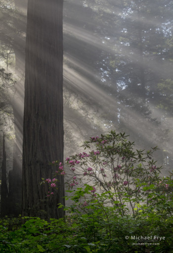 Redwood, sunbeams, and rhododendron, northern California, USA