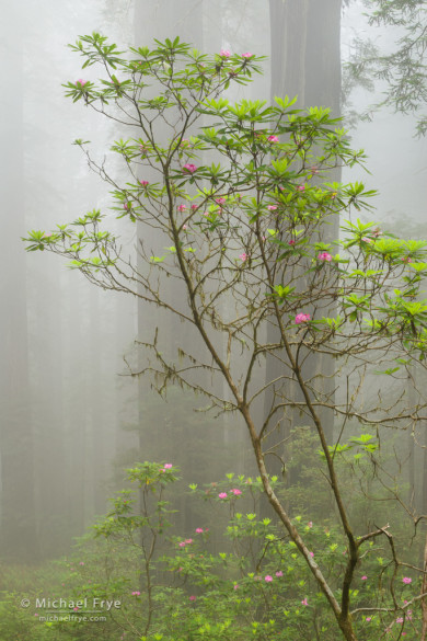 Graceful rhododendron in the  fog, northern California, USA