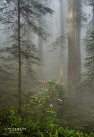 Redwoods and rhododendron in fog, northern California, USA