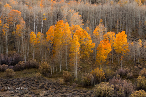Aspens and willows, Toiyabe NF, CA, USA