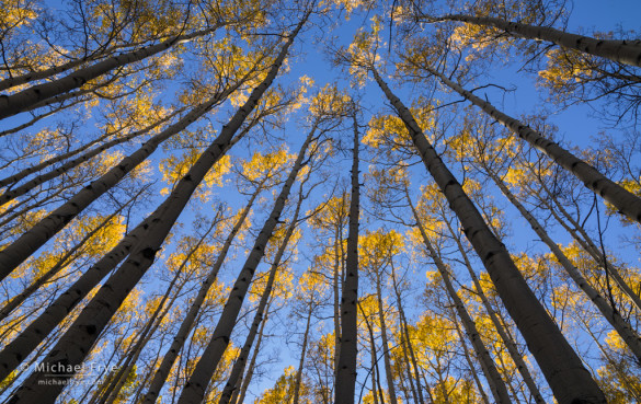 Aspen canopy, autumn, Gunnison NF, CO, USA