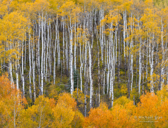 Autumn aspens, Gunnison NF, CO, USA