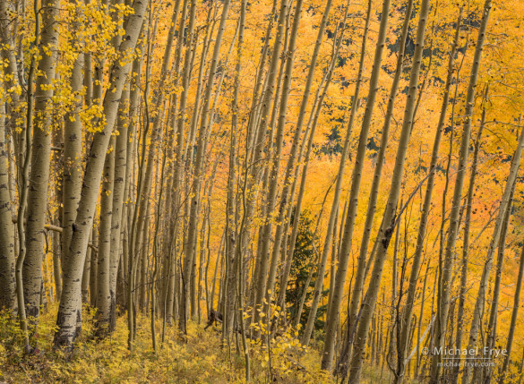 Leaning aspens, autumn, Uncompahgre NF, CO, USA