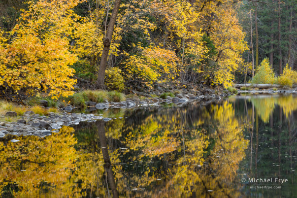 Big-leaf maples along the Merced River, autumn, Yosemite NP, CA, USA