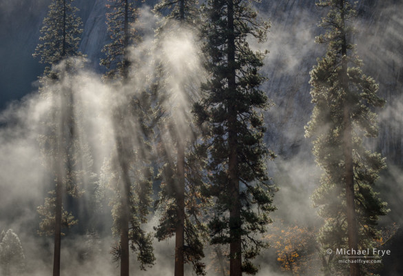 Ponderosa pines in mist, El Capitan Meadow, Yosemite NP, CA, USA
