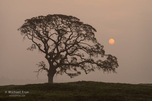 Oak, sun, and fog, Sierra Nevada foothills, Mariposa County, CA, USA